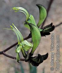 Macropidia fuliginosa, Black Kangaroo Paw  Click to see full-size image
