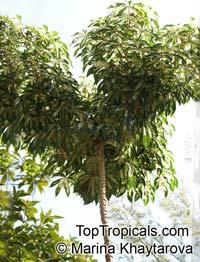 Manihot esculenta, Cassava, Manihot, Tapioca, Manioc  Click to see full-size image