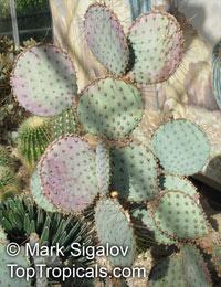 Opuntia macrocentra, Opuntia santa-rita, Opuntia violacea var. santa-rita, Santa Rita Prickly PearClick to see full-size image