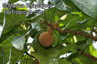 Pangium edule, Keluak, KeluwakClick to see full-size image