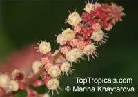 Paranephelium macrophyllum, ParanepheliumClick to see full-size image