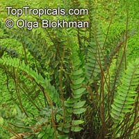 Pellaea falcata, Sickle Fern  Click to see full-size image