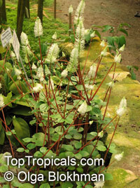 Peperomia fraseri, Flowering Peperomia  Click to see full-size image