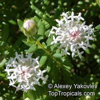 Pimelea ciliata, White Banjine  Click to see full-size image