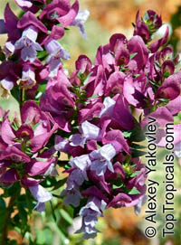 Prostanthera sp., Mint Bush  Click to see full-size image