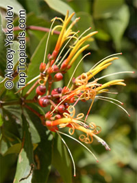 Psittacanthus sp., Psittacanthus  Click to see full-size image