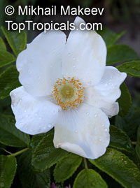Rosa sp. (single flower), Wild Rose  Click to see full-size image