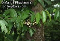 Shorea bracteolata, Meranti  Click to see full-size image