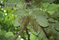 Sterculia macrophylla, Bigleaf Sterculia, Broad-Leafed Sterculia, Kelumpang  Click to see full-size image