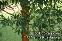 Syzygium antisepticum, Syzygium gratum, Eugenia glaucicalyx, Eugenia grata, Syzygium glaucicalyx, Kalaum, Malaruhat  Click to see full-size image