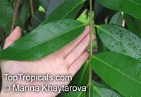 Syzygium jambos, Eugenia jambos, Jambosa jambos, Rose apple, Malabar Plum, Pomme rosa  Click to see full-size image