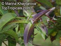 Syzygium polyanthum , Eugenia balsamea, Eugenia nitida, Eugenia polyantha, Indonesian Bayleaf, Salam  Click to see full-size image