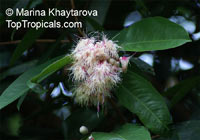 Syzygium pycnanthum, Wild Rose Apple  Click to see full-size image