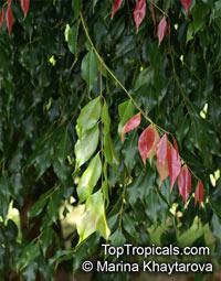 Syzygium unipunctatum, Roly Poly Satinash  Click to see full-size image