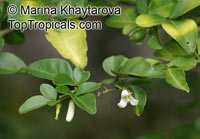 Triphasia trifolia, Lime Berry, Limeberry, Limau Kiah, Lemondichina  Click to see full-size image