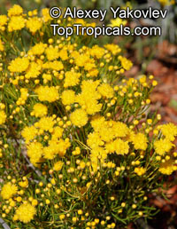 Verticordia sp., Featherflowers