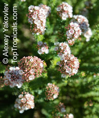 Verticordia sp., Featherflowers  Click to see full-size image