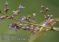 Vitex negundo, Five-leaved Chaste Tree
