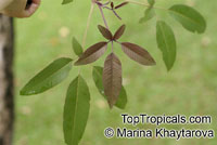 Vitex negundo, Five-leaved Chaste Tree  Click to see full-size image