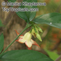 Wrightia dubia, Cameraria dubia, Wrightia cambodiensis, Starfish Flower, Red Wrightia  Click to see full-size image