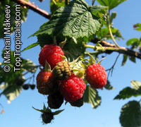 Rubus idaeus, Tropical Raspberry, Heritage Red Raspberry  Click to see full-size image