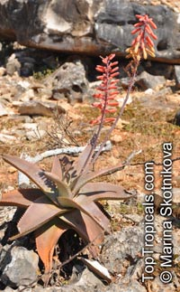 Aloe sp., Aloe  Click to see full-size image