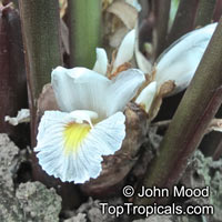 Amomum dealbatum, AmomumClick to see full-size image