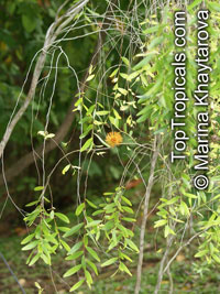 Asteromyrtus symphyocarpa, Liniment Tree, Waria-waria Tree  Click to see full-size image