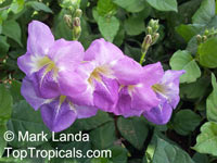 Asystasia gangetica, Chinese Violet, Creeping Foxglove, Ganges PrimroseClick to see full-size image