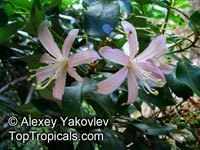 Bejaria aestuans, Rose of the Andes  Click to see full-size image