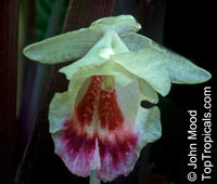 Boesenbergia sp., Chinese Ginger, Fingerroot, Kra ChaiClick to see full-size image