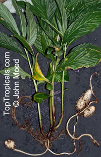 Boesenbergia sp., Chinese Ginger, Fingerroot, Kra Chai  Click to see full-size image