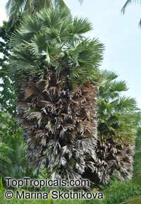 Borassus flabellifer, Borassus aethiopum, Palmira Palm, Toddy Palm  Click to see full-size image