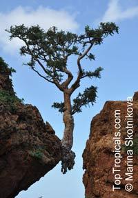Boswellia sacra, Boswellia carteri, Boswellia undulato crenata, Frankincense, Olibanum Tree  Click to see full-size image