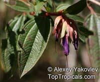 Brachyotum quinquenerve, Brachyotum  Click to see full-size image
