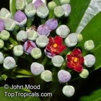 Canella winterana, Winter Cinnamon, Wild CinnamonClick to see full-size image