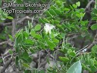 Capparis cartilaginea, Capparis sinaica, Capparis  Click to see full-size image