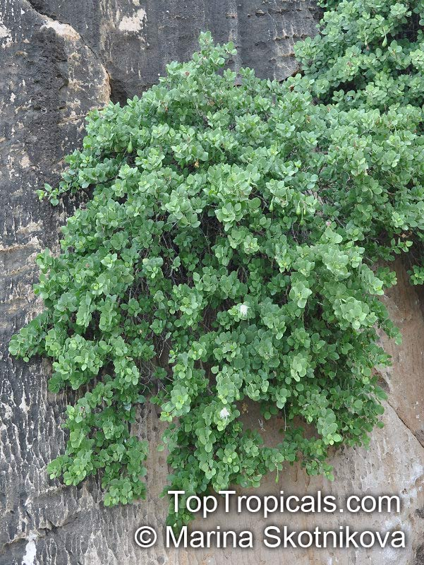 Caper Bush For Sale