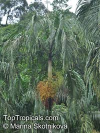 Carpentaria acuminata, Carpentaria Palm