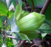 Cobaea scandens, Cathedral Bells, Cup and Saucer Vine  Click to see full-size image