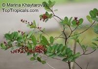 Cratoxylum glaucum, Cratoxylum microphyllum, Cratoxylum polystachyum, Cratoxylum procerum, Gerangan  Click to see full-size image