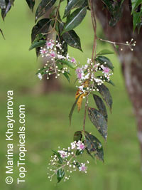 Decaspermum fruticosum, Brown Myrtle, Shrubby Decaspermum, Tailor TreeClick to see full-size image