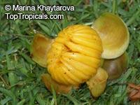 Dillenia serrata, Dillenia elliptica, Dillenia Click to see full-size image