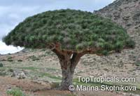 Dracaena cinnabari, Socotra Dragon Tree, Dragon Blood Tree  Click to see full-size image