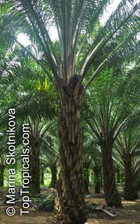 Elaeis guineensis, African Oil Palm, Jacquin  Click to see full-size image