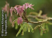 Engelhardtia spicata, Engelhardtia aceriflora, Great Malay Beam, MauwaClick to see full-size image