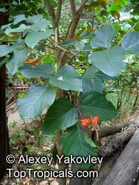 Erythrina edulis, Chachafruto  Click to see full-size image
