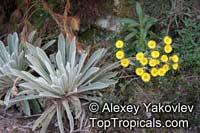 Espeletia schultzii, Frailejon  Click to see full-size image