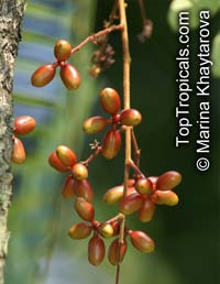 Eurycoma longifolia, Ali's Umbrella, Long Jack, Malaysian Ginseng, Pasak Bumi, Tongkat Ali  Click to see full-size image