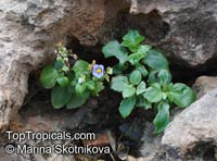Exacum affine, Persian Violet  Click to see full-size image